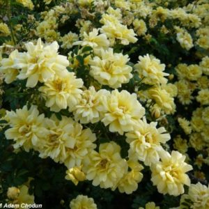 Harrisons-Yellow1