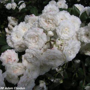 Alba Rose1