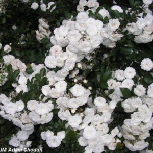 Alba Rose2