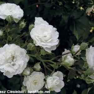 Alba Rose5
