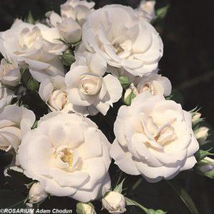 Aspirin-Rose1