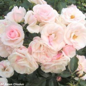 Aspirin Rose10