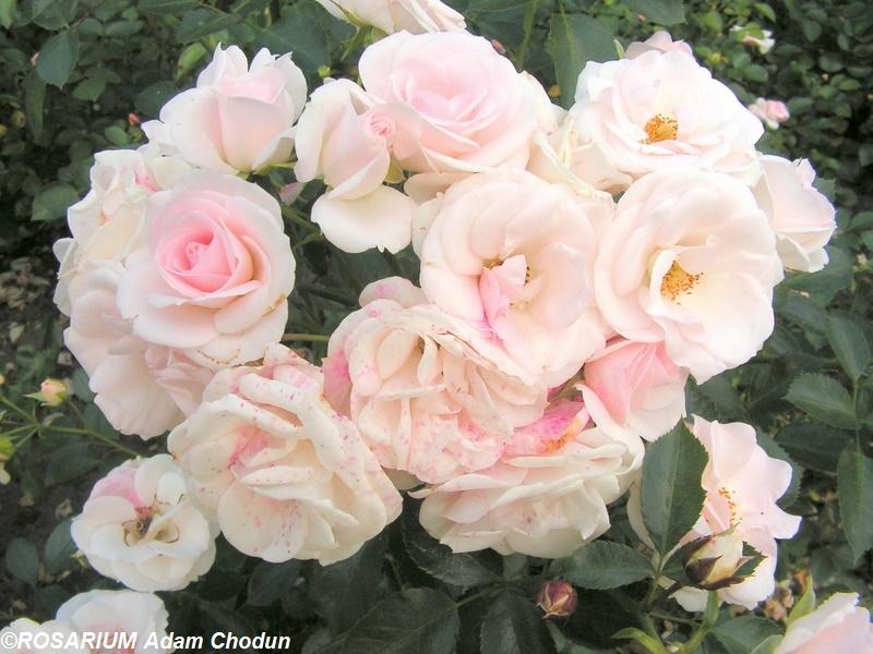 aspirin rose adr 1995 szk ka r rosarium. Black Bedroom Furniture Sets. Home Design Ideas