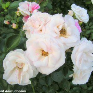 Aspirin Rose11
