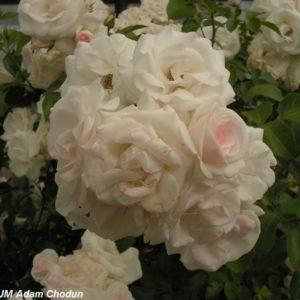 Aspirin Rose12