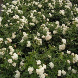 Aspirin Rose7