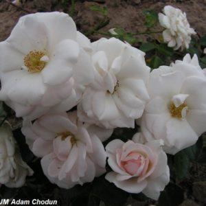 Aspirin Rose9