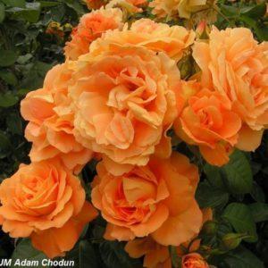 Bernstein Rose1