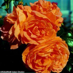Bernstein-Rose2