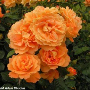 Bernstein Rose3
