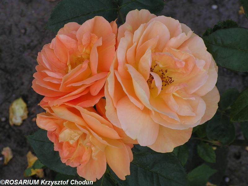 Bernstein-Rose4