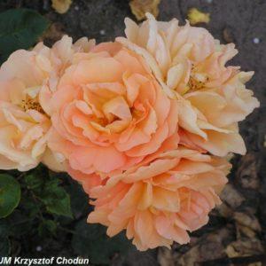 Bernstein-Rose5