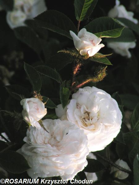 Blanche-Moreau1