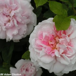 Cottage Rose1