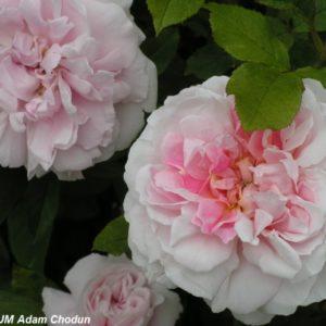Cottage Rose1