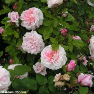 Cottage Rose2