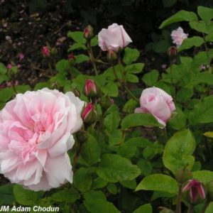 Cottage Rose3