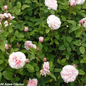 Cottage Rose4