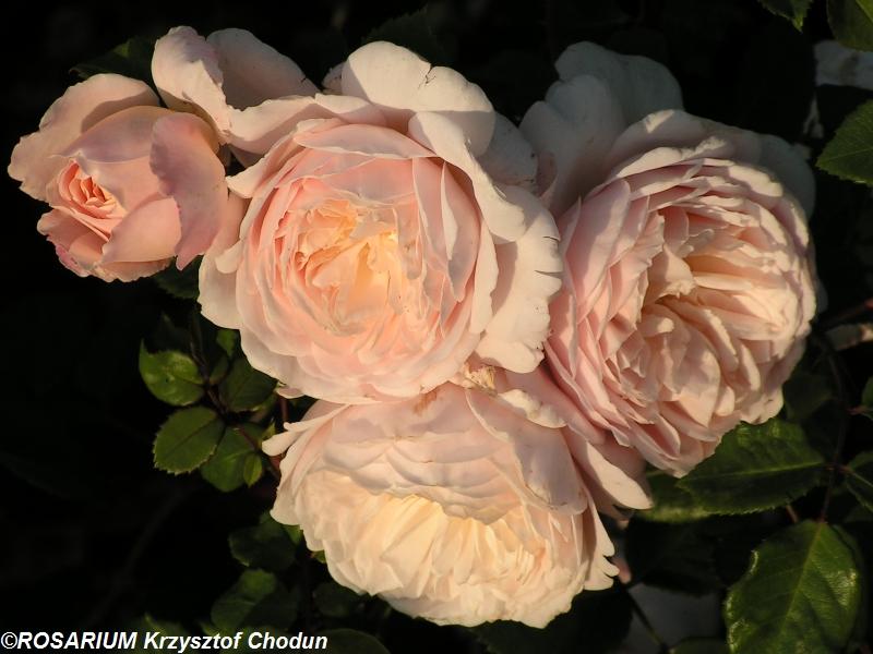 Crocus-Rose1