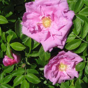Rosa rugosa 'Dwarf Pavement'®