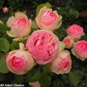 Eden Rose1