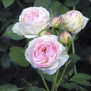 Eden-Rose2
