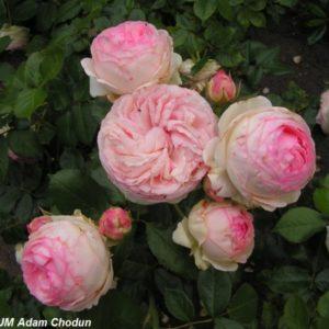 Eden Rose3