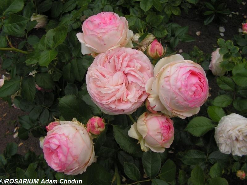 eden rose 85 meilland 1987 szk ka r rosarium. Black Bedroom Furniture Sets. Home Design Ideas
