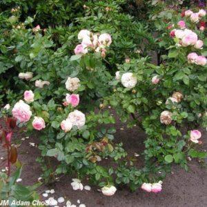 Eden Rose4