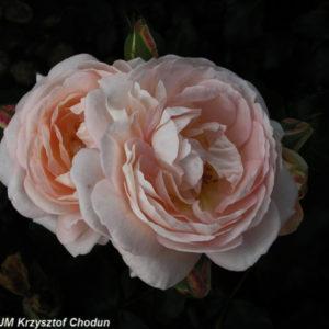 Marie-Antoinette1