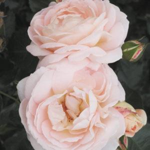 Marie-Antoinette3