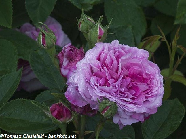 Reine-des-Violettes1