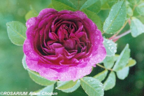 Reine-des-Violettes5