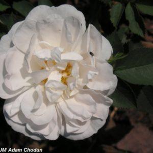 Rosa alba Maxima1