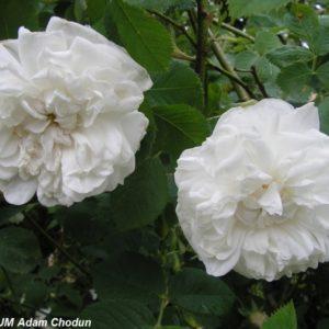 Rosa alba Maxima2