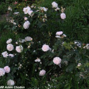Rosa alba Maxima5