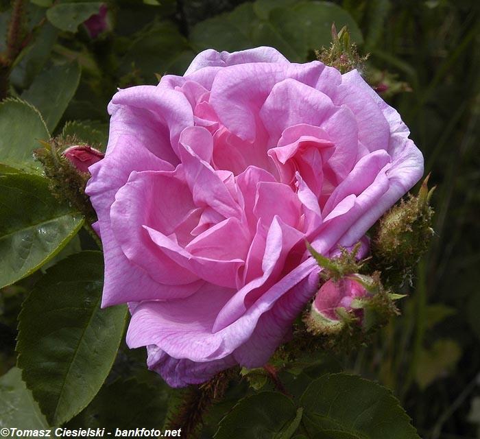 Rosa-centifolia-Muscosa1