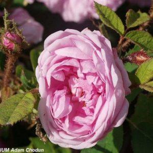 Rosa-centifolia-Muscosa2