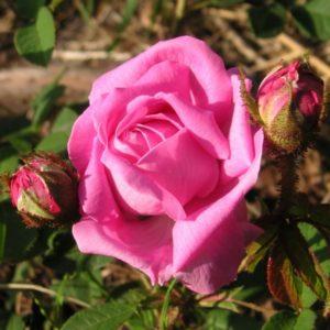 Rosa centifolia Muscosa3