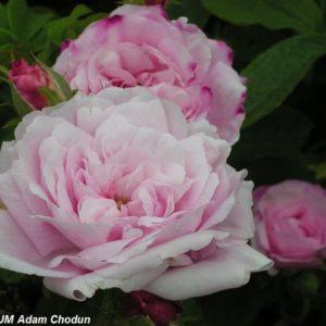 Rosa centifolia Petite de Hollande1