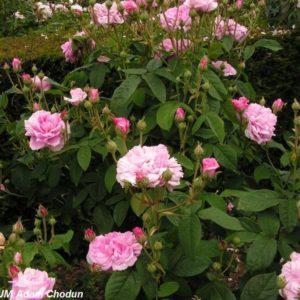 Rosa centifolia Petite de Hollande2