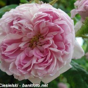 Rosa centifolia Petite de Hollande3