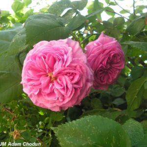 Rosa damascena Koszuty1