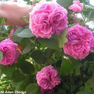 Rosa damascena Koszuty2