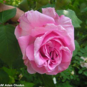 Rosa damascena Koszuty3