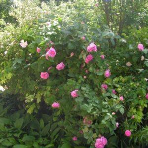 Rosa damascena Koszuty4