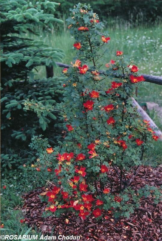 Rosa-foetida-Bicolor2