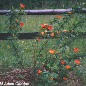Rosa-foetida-Bicolor4
