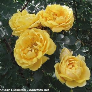 Rosa foetida Persian Yellow1