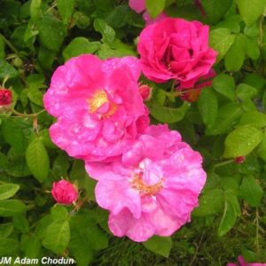 Rosa gallica Officinalis1